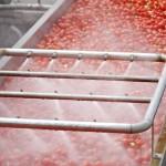 tomato coveyer